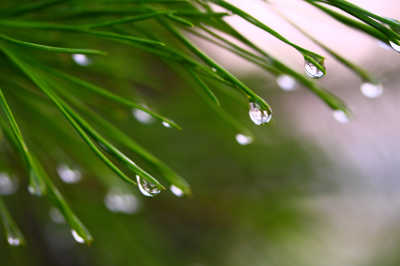 water droplets falling from tree needles